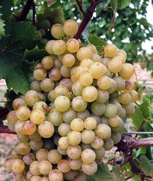 Сорт винограда продюсер описание фото