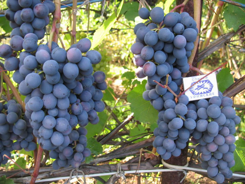 vinograd-agat-donskoj.jpg